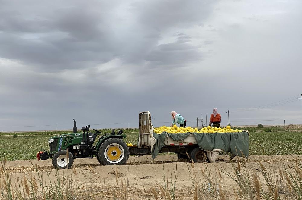 興農助農是「春雷計劃2020」其中一項核心工作,阿里巴巴集團計劃在中國建設1,000個數字農業基地,助各地農戶拓寬收入機會。圖為甘肅省民勤的農民將豐收的蜜瓜裝車。