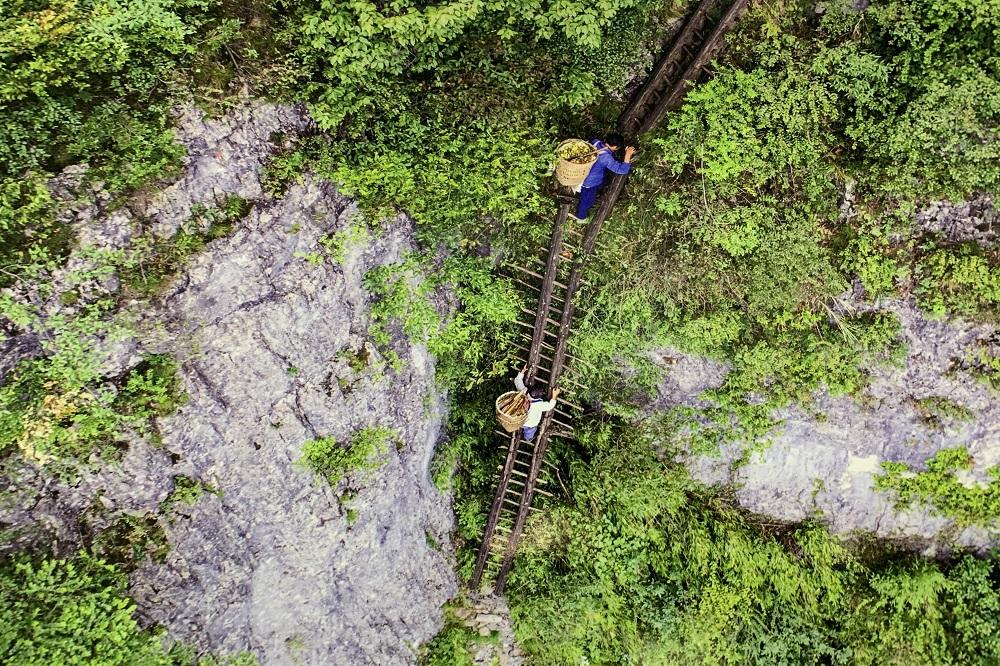 重慶南川金佛山的筍農爬上架設在懸崖上的天梯採筍。