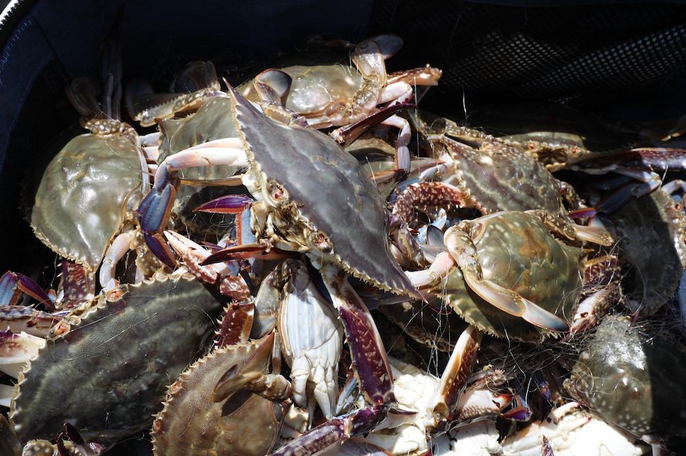 剛捕撈上岸的梭子蟹
