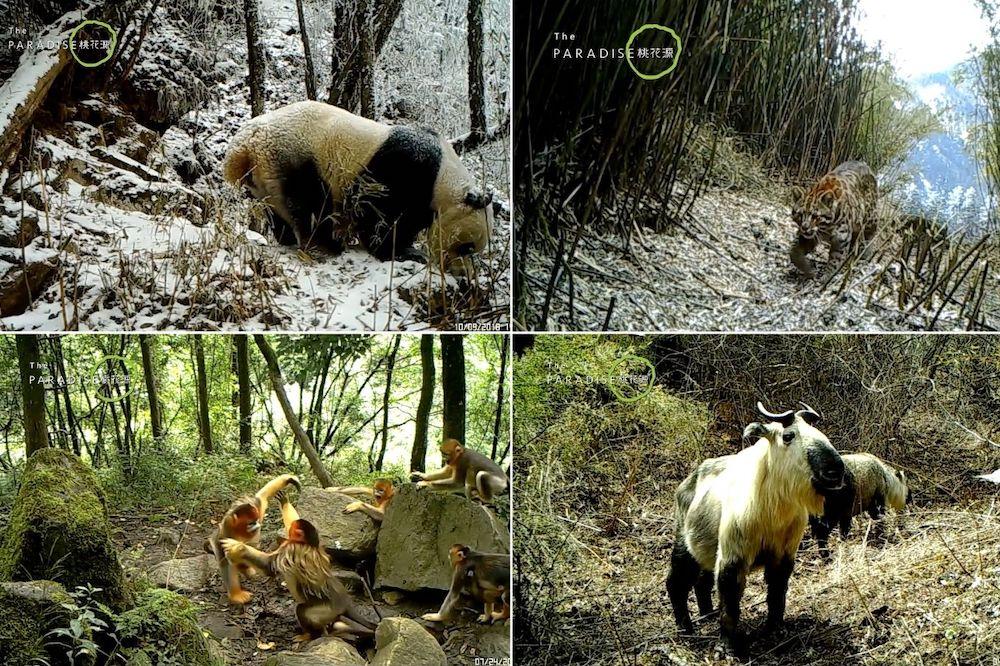 中國四川的老河溝地區十多年前因為盜獵猖獗,導致野生動物動物驟減,在各方努力下,老河溝的生態持續變好,消失的野生動物又回來了。(圖片來源:桃花源生態保護基金會)