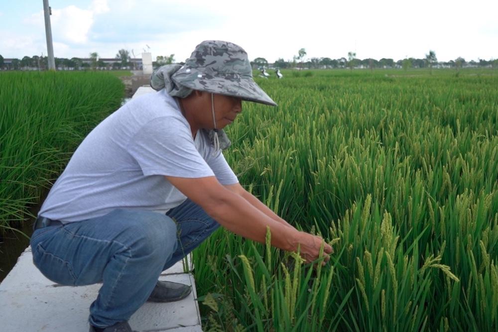 種地超過30年的中國江蘇農民陳超現在用手機管理千畝水稻田